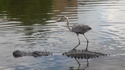 Alligator and Crane, florida swamp
