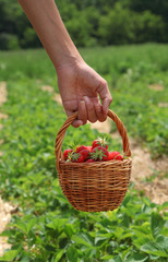 Young woman's hand with strawberries in basket
