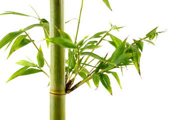 Tropical green fresh bamboo shoots