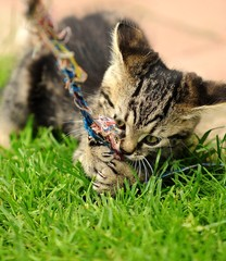 Gray little kitten is playing at garden.