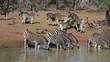 Plains Zebras gathering at a waterhole to drink, Mkuze
