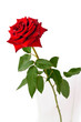 red roses isolated on white background