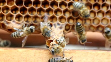 Extreme situation in the colony of bees