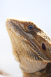 Bearded dragon inside a vivarium photographed in portrait