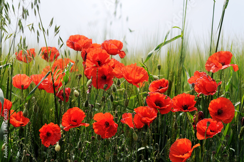 Fototapety, obrazy : Poppies