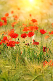Fototapety Red poppies