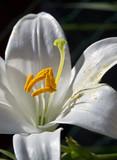 giglio bianco con polline. Macro poster