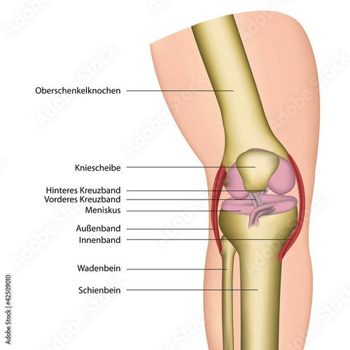 knie gelenk anatomie illustration, beschreibung deutsch