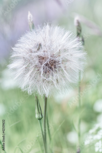 Meadow Salsify - 42509632