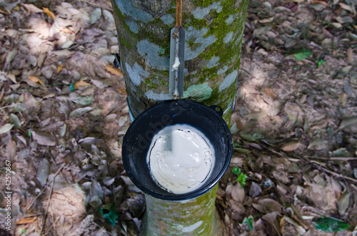 Tapping latex from a rubber tree