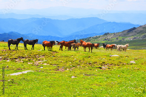 Herb of horses in Altai mountines