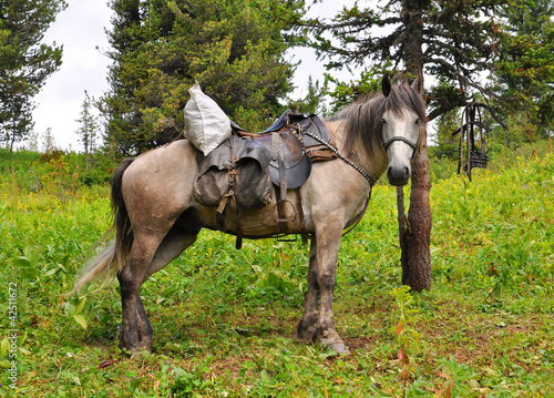 The ridden out horse dozes in the summer in mountains of Altai