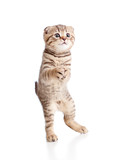 Funny playful cuddly kitten is dancing. Isolated on white backgr poster