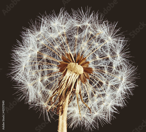 Close-up of dandelion on brown background