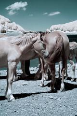 cavalli liberi paesaggio infrarosso