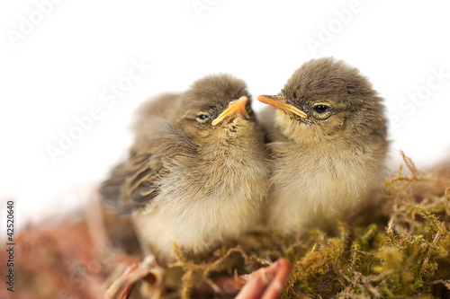 zwei Jungvögel im Nest