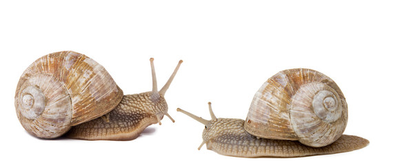 Two snails isolated on white background