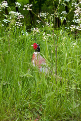 Pheasant in the long grass during the spring
