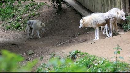 meute de loups du canada