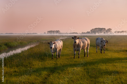 Dutch cows on sunrise in fog