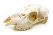 Scull of roe deer