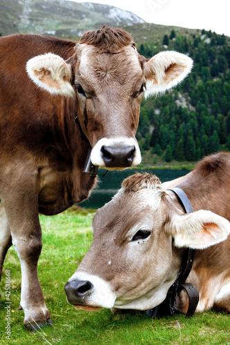 coppia di mucche al pascolo