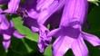 Bienenweide Waldglockenblume