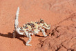 Thorny Devil Lizard looking at camera