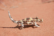 Thorny Devil Lizard walking on red sand in the outback