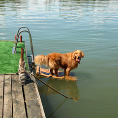 Golden retriever by water