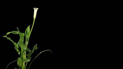 Blooming white calla (Calla Zantedeschia)