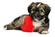 Lover Valentine Havanese male puppy dog is holding a red heart