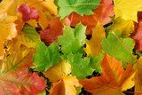 Fototapety Herbstlaub: bunte Ahornblätter