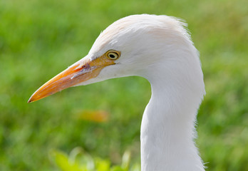 Egyptian heron bird