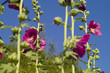Red marshmallow (Althaea officinalis)