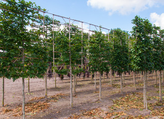 Espaliers in a tree nursery