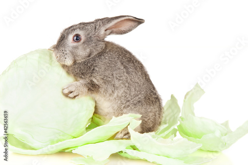 Gray rabbit in a cabbage
