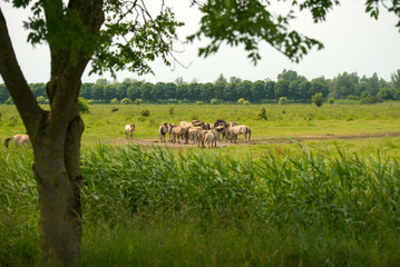 Herd of Konik horses in sunlight