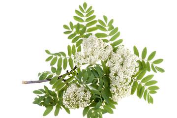 rowan white flowers