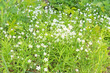 wild white flowers spring background