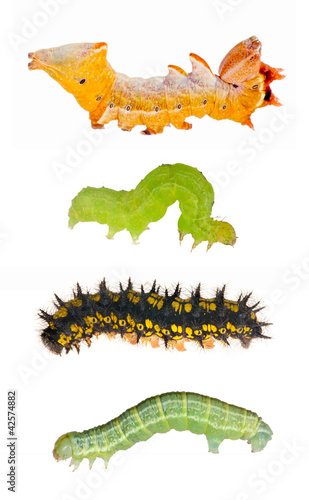 set of four caterpillars on white