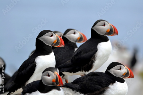 Atlantic Puffins on Machias