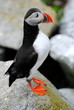 Perfect Puffin at Machias