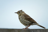 A meadow pipit on a pile