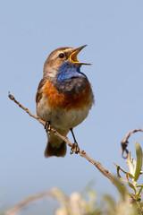 Bluethroat sings