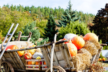 still life of pumpkins on cart