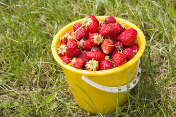 Ripe red strawberries in a yellow bucket