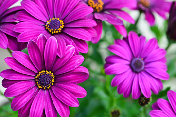 Purple daisy flowers, Osteospermum.