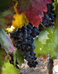September in the vineyard (La Rioja,Spain)