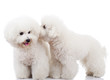 bichon frise puppy dogs playing